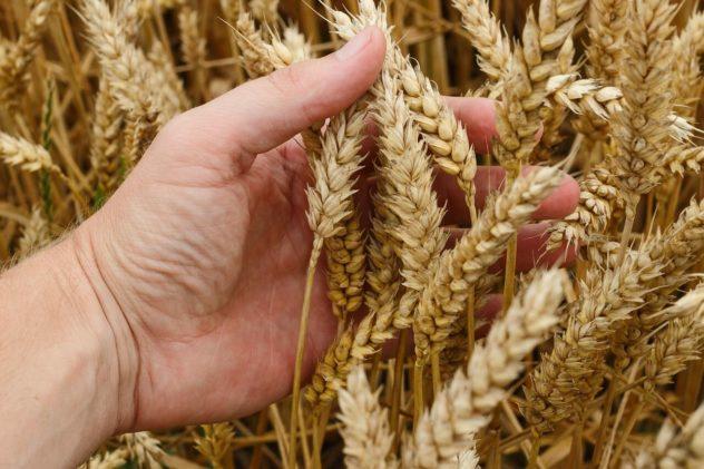 Brot selber backen mit frischem Getreide