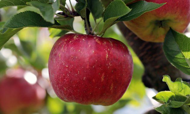 LIEVITO MADRE aus heimischen Äpfeln.